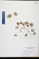 Halophila engelmannii image