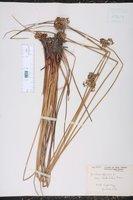 Juncus effusus var. costulatus image