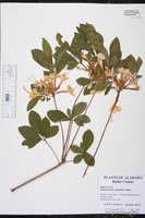 Rhododendron colemanii image