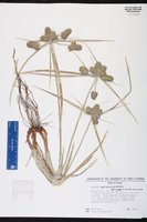 Cyperus aggregatus image