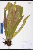 Image of Campyloneurum phyllitidis