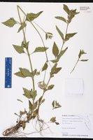 Image of Praxelis clematidea