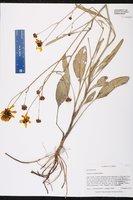 Coreopsis gladiata image