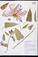 Image of Hibiscus lambertianus