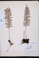 Image of Pleopeltis squamata