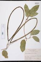 Echites yucatanensis image