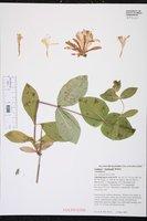 Image of Lonicera x heckrottii