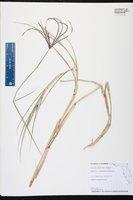 Cynodon nlemfuensis image