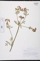 Eurytaenia texana image