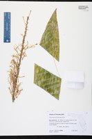Sansevieria trifasciata image