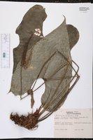 Anthurium umbrosum image