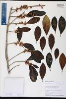 Ficus americana image