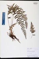 Thelypteris asplenioides image