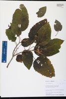 Image of Croton corylifolius