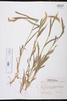 Setaria latifolia image