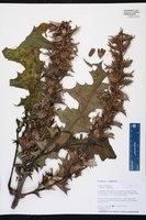Acanthus montanus image