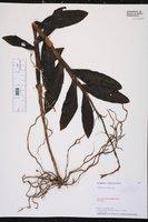 Epidendrum anceps image