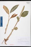 Elettaria cardamomum image