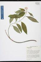 Asclepias perennis image