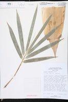 Bambusa tuldoides image