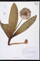 Allium karataviense image