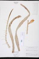 Weberocereus tunilla image