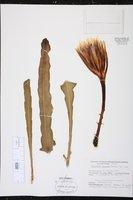 Epiphyllum crenatum image