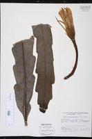 Epiphyllum hookeri image