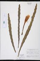 Image of Epiphyllum lepidocarpum