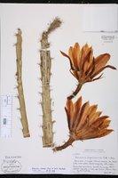 Disocactus schrankii image