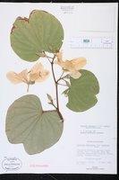 Bauhinia variegata var. candida image