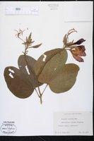 Bauhinia x blakeana image