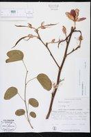 Bauhinia variegata image
