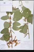 Image of Bauhinia corniculata