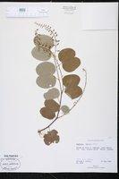 Bauhinia brachycarpa image