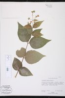 Nyctanthes arbor-tristis image