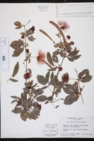 Calliandra emarginata image
