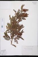 Calliandra surinamensis image