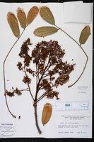 Andira fraxinifolia image
