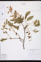 Image of Bolusanthus speciosus