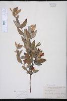 Brachysema lanceolatum image