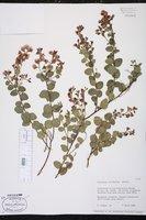 Chorizema ilicifolium image