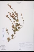 Chorizema cordatum image