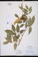 Myroxylon peruiferum image