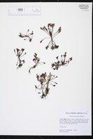 Drosera intermedia image