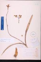 Image of Encyclia meliosma