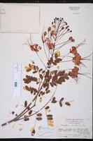 Caesalpinia pulcherrima image