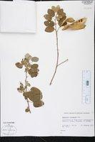 Bauhinia racemosa image