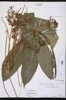 Alstonia macrophylla image