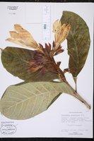 Beaumontia grandiflora image